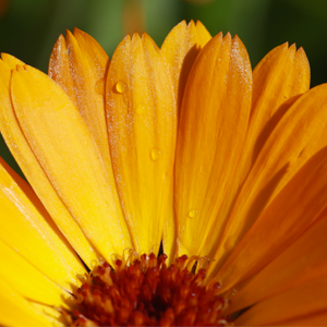Pelli sensibili - Calendula